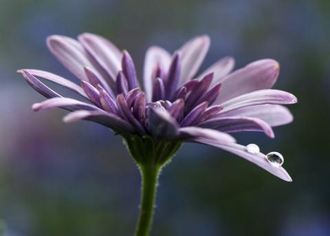 purple flower with droplet.jpg