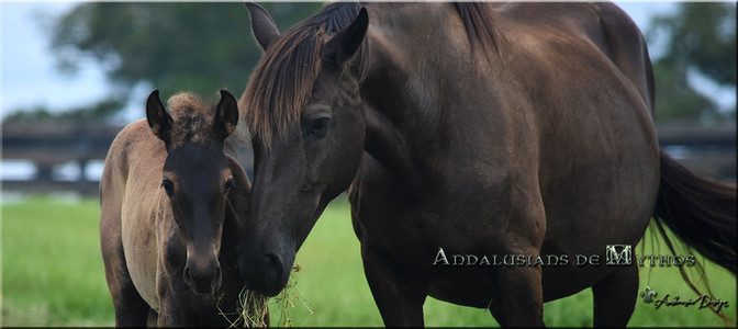 Pure Spanish Black Mare with Colt
