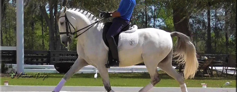 Imported Lustiano Gelding