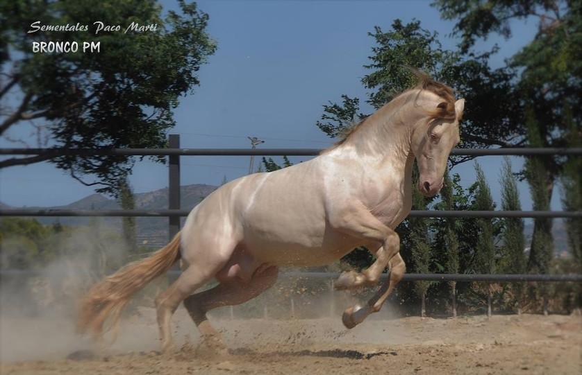 Bronco PM, sire (Spain)
