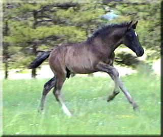Toltec, uphill canter