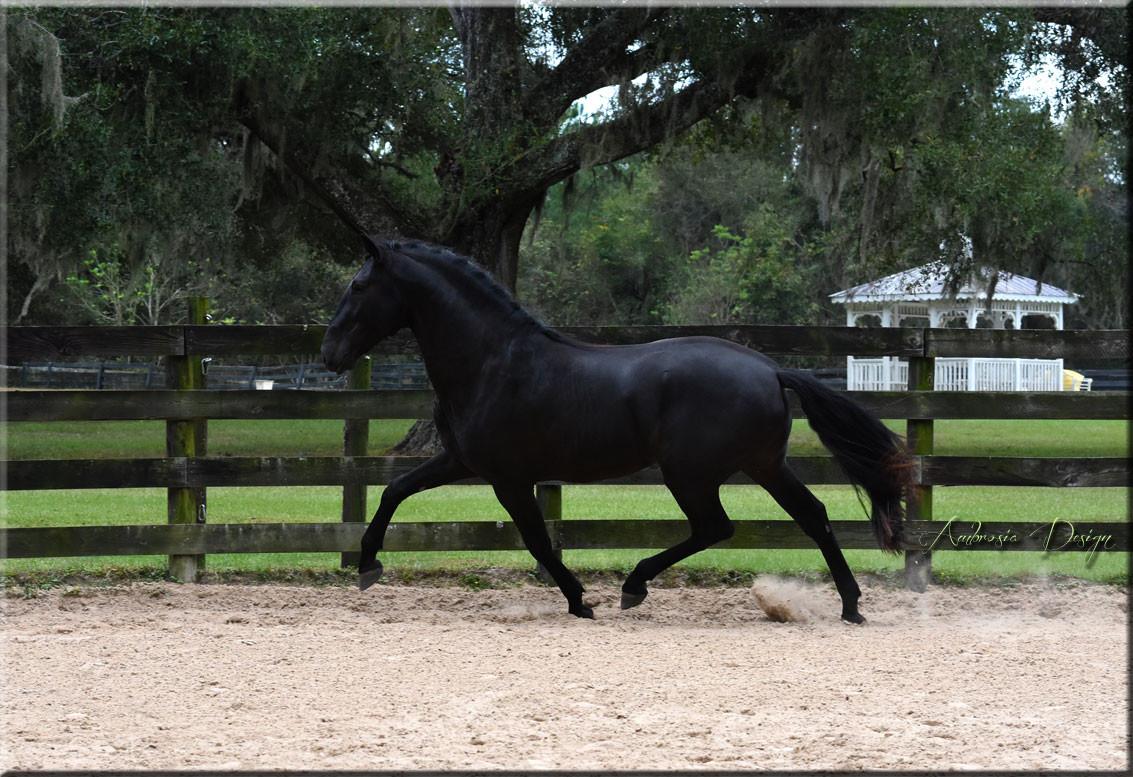 Black Lusitano Stallion