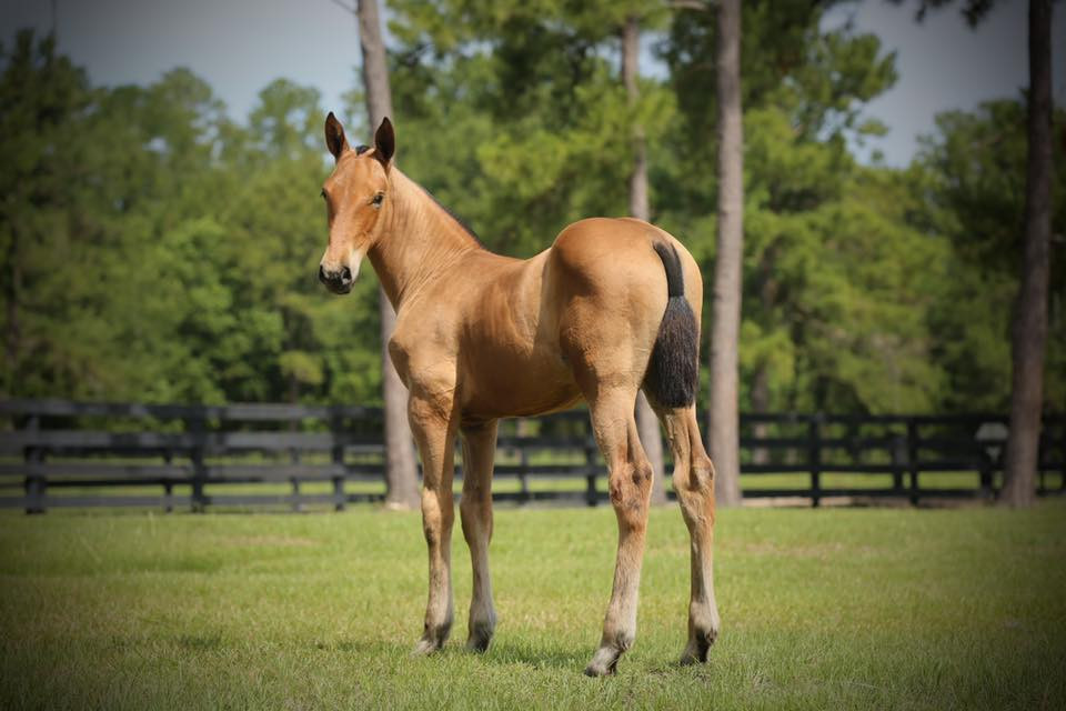 Exotic PRE Filly