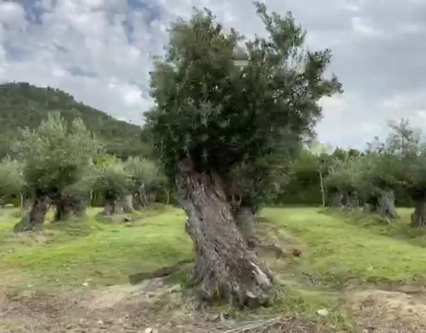 Limpieza de olivos
