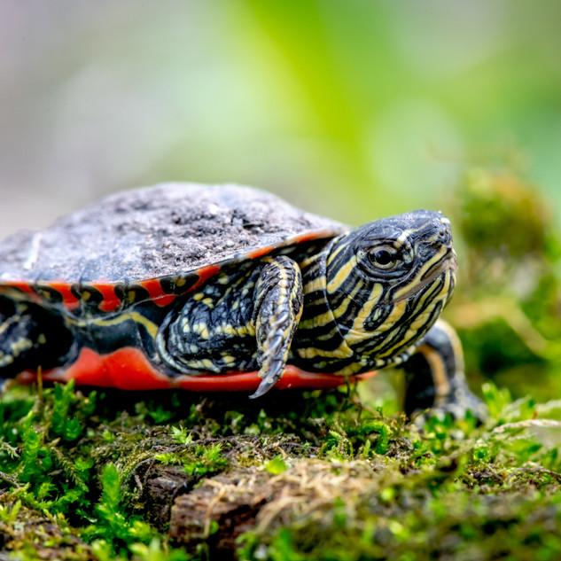Painter Turtle