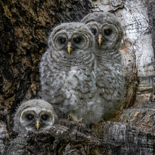 Barred Owlets