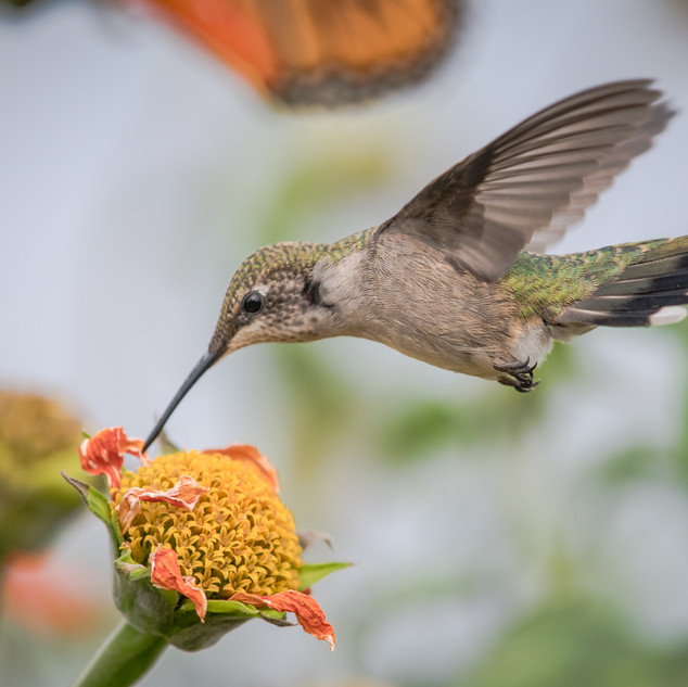 Rubby Throated Hummingbird
