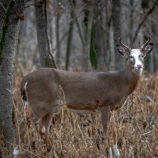 Piebald White-tailed Deer