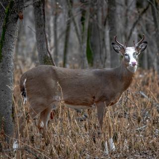 Piebald White-tailed Deer