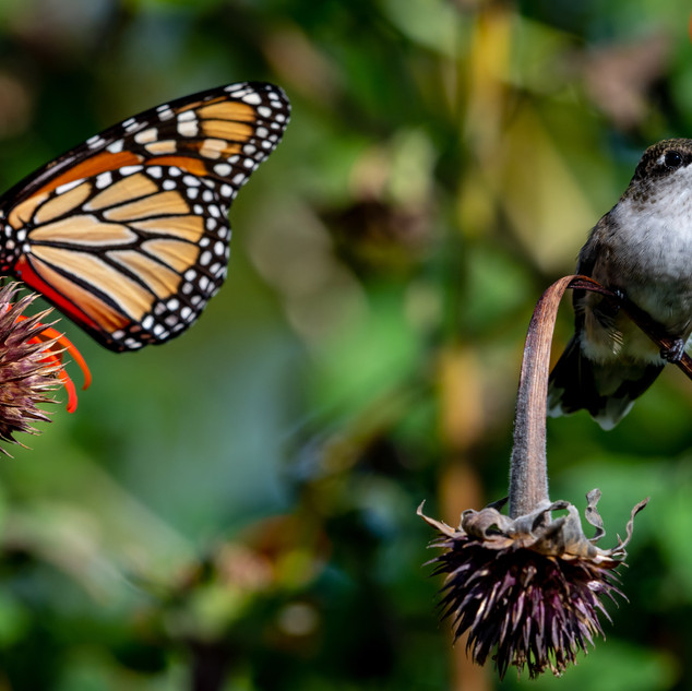 Monarch and Hummingbird