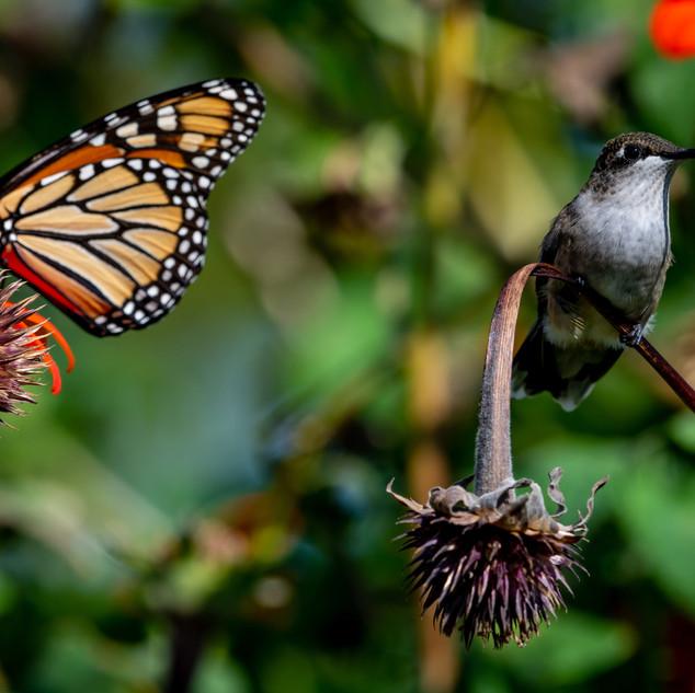 Monarch and Hummingbird