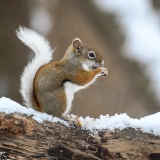 Partial Leucistic Red Squirrel