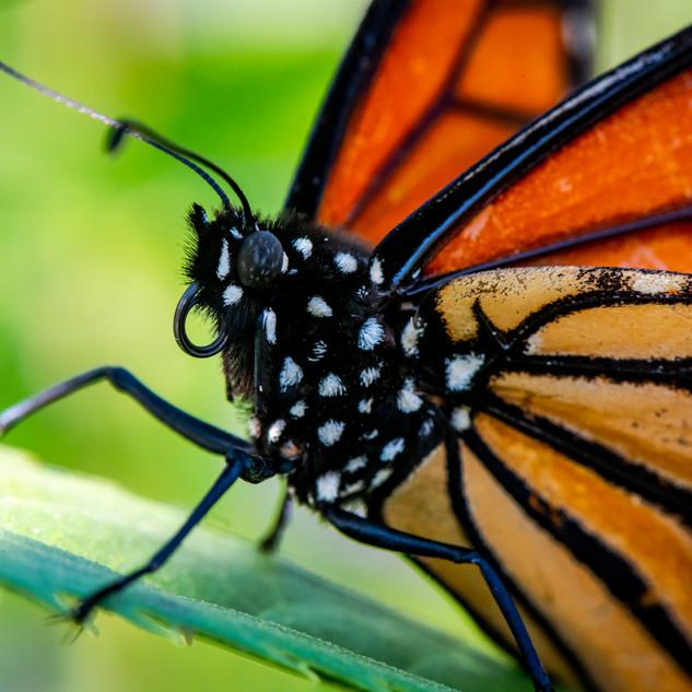 Monacrh Butterfly