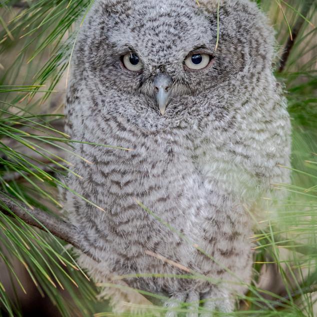 Eastern Screech Owlet