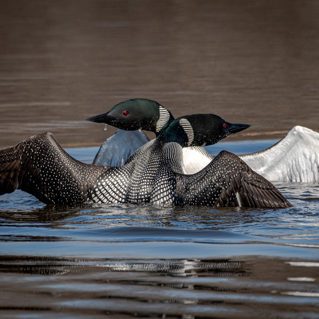 Common Loons Courtship