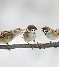Three sparrows talking LR.jpg