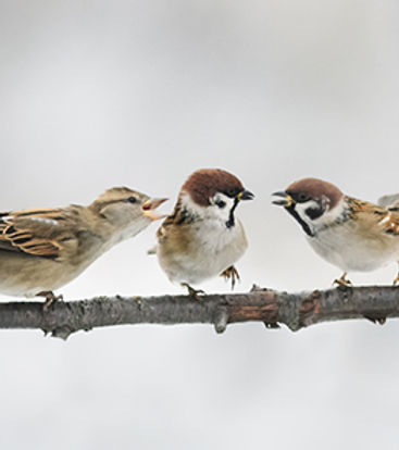 Three sparrows, one of which is a mediator