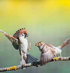 Sparrows in Conflict LR.jpg