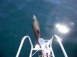 Dolphin off bow