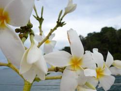 Frangi pani tropical flower