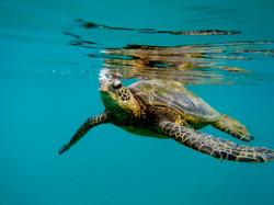Tortuga sea turtle friends