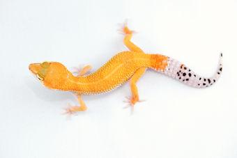 Super Hypo Tangerine