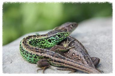 Zauneidechsen (Lacerta agilis agilis)