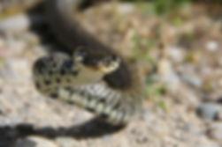Ringelnatter (Natrix natrix natrix)