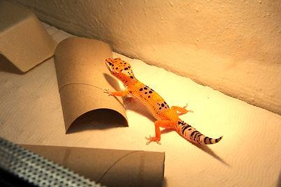 Leopardgecko Eublepharis macularius  Quarantäne