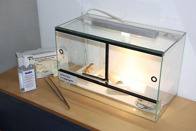 Leopardgecko Eublepharis macularius  Quarantäne Quarantäneterrarium