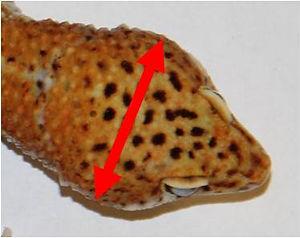Leopardgecko Eublepharis macularius Leo Börse Reptilienbörse