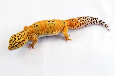 Leopardgecko Eublepharis macularius Tangerine Morph Farbform leopardgeckos.ch