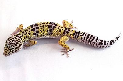 Leopardgecko Eublepharis macularius Wildtyp Wildform leopardgeckos.ch