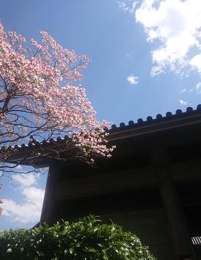 桜咲くお寺