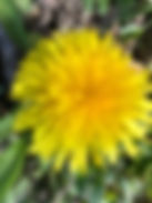 website dandelion.jpg