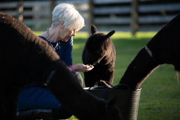 Alison feeding alpacas