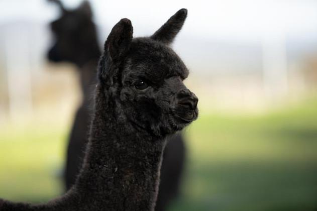 Black alpaca in field, Wharncliffe Alpaca Stud