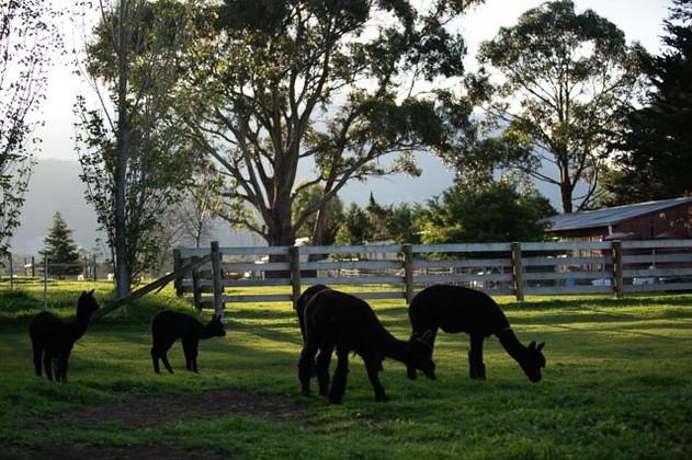 Black Alpacas in field