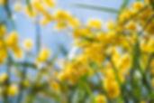 Mimosa-therapie-alternative