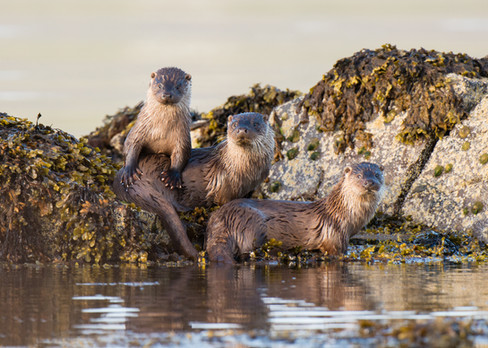 Otter family portrait By Josh Jaggard