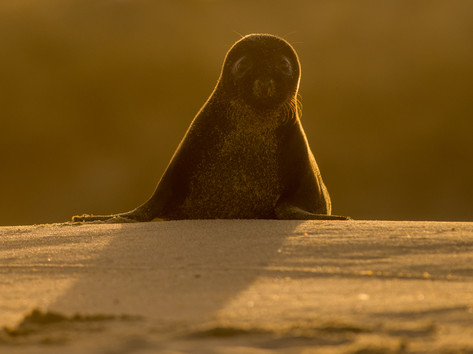 Grey seal backlit by Josh Jaggard