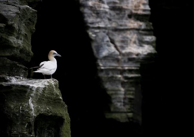 Gannet cliff By Josh Jaggard