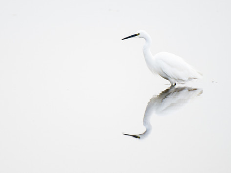 Little egret by Josh Jaggard