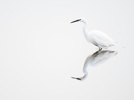 Little egret by Josh Jaggard