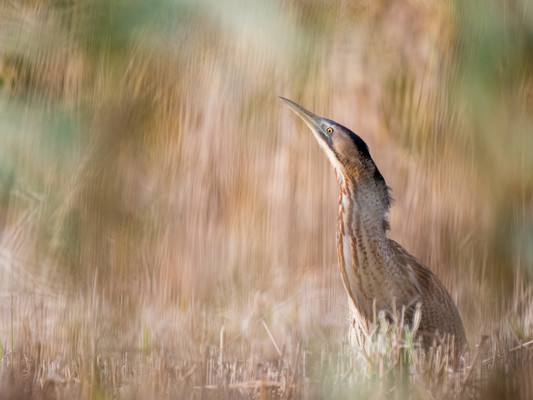 Bittern in the reeds By Josh Jaggard