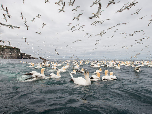 Flock of gannets By Josh Jaggard