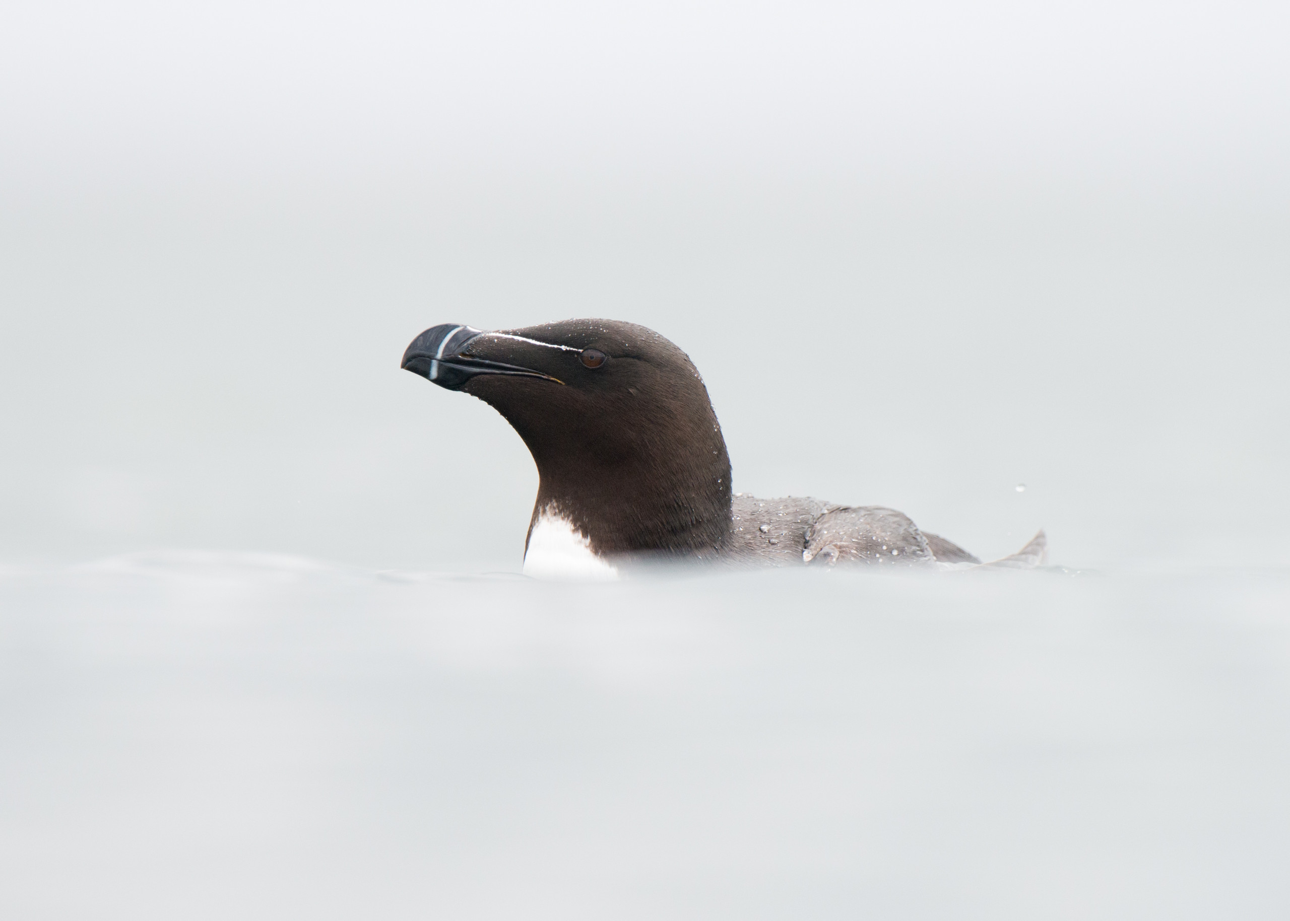 Razorbill from Josh Jaggard floating hide