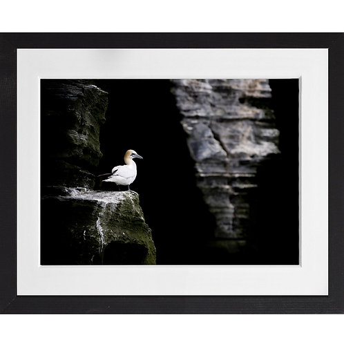 Gannet sitting on the cliff