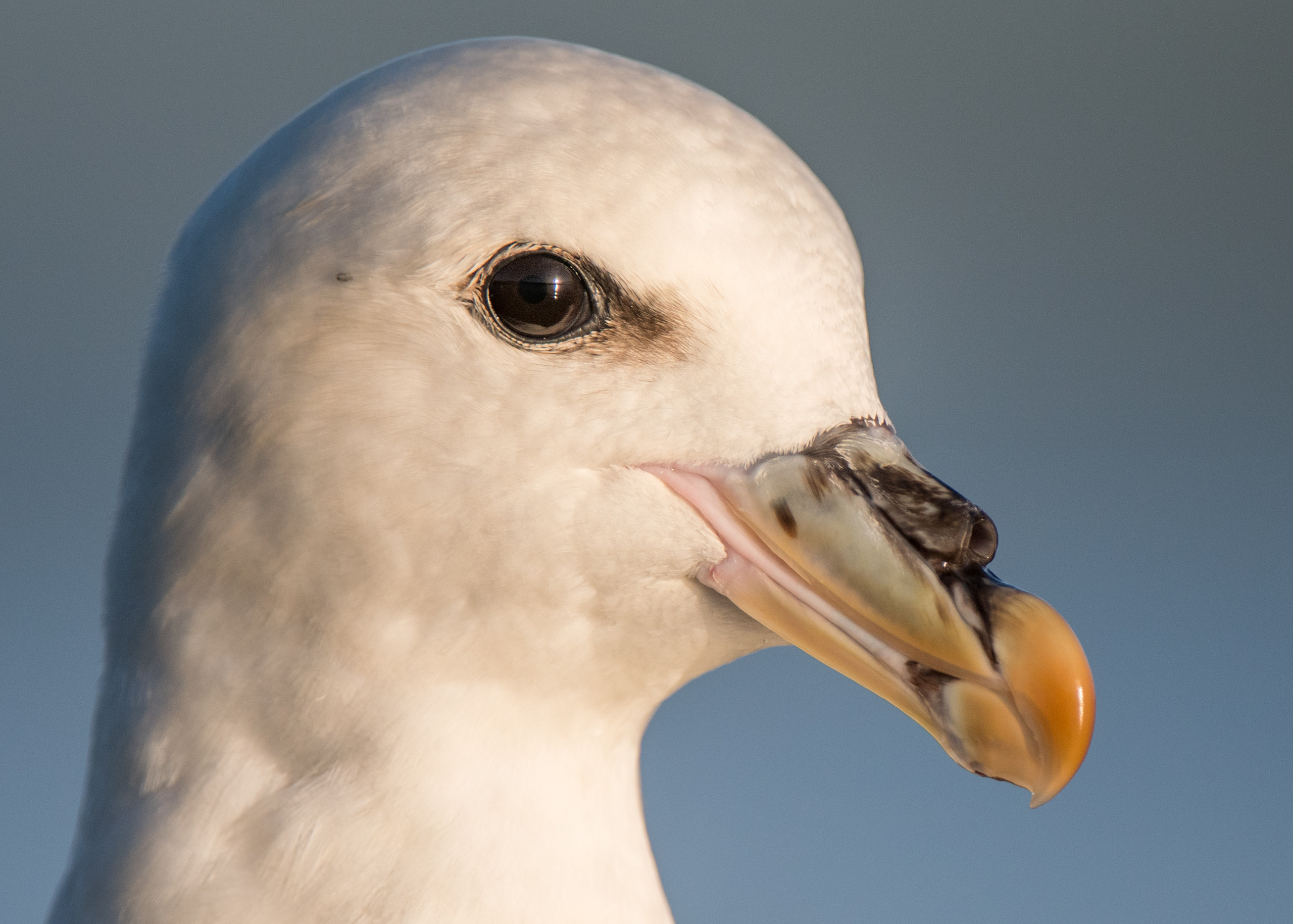 Fulmar from Josh Jaggard floating hide