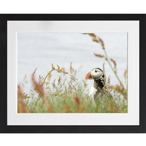 Puffin amongst the long grass